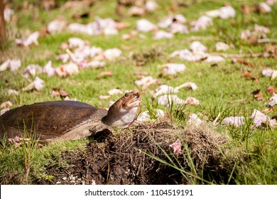 Florida softshell turtle Apalone ferox up on the grass, foraging for food and remaining alert in Naples, Florida
