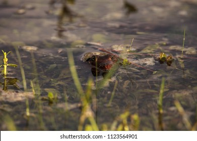 Florida softshell turtle Apalone ferox in a pond, foraging for food and remaining alert in Naples, Florida