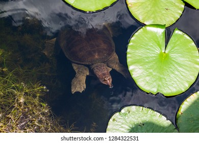 Florida softshell turtle (Apalone ferox) swimming submerged in lake - Long Key Natural Area, Davie, Florida, USA