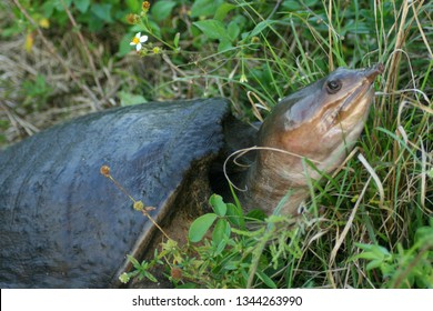 Florida softshell turtle in Everglades National Park