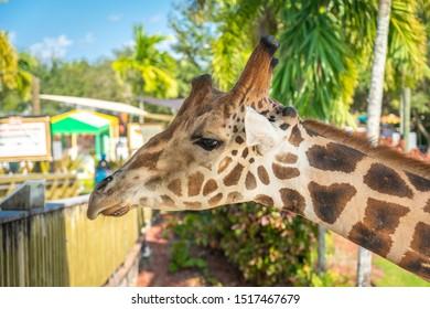 Florida, USA - September 19, 2019: Giraffes in Lion Country Safari drive through park in West Palm Beach Florida