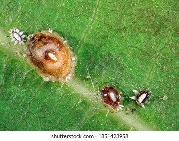 Florida wax scale, Ceroplastes floridensis Comstock (Hemiptera: Coccoidea), is one of the most commonly encountered soft scales. It is a serious pest of citrus and ornamental plants