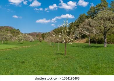 Florish fruit meadow in spring