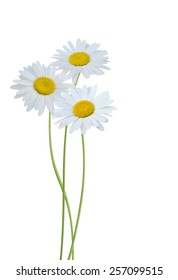 Florist branch: Three chamomile flowers isolated on white