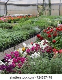 florist greenhouse with lots of blossomed flower pots on wholesale