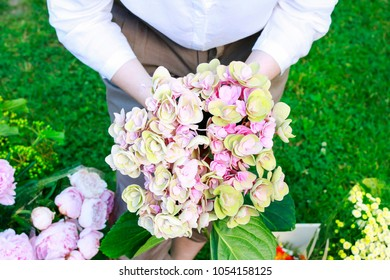 Florist at work: woman holding blooming hortensias in the garden.