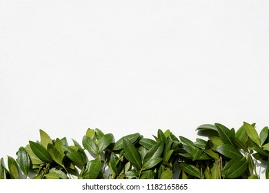 floristry minimalistic art. green periwinkle leaves on white background. nature and plants. copyspace concept