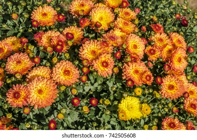 Florists Daisy (Chrysanthemum morifolium) in garden, Moscow region, Russia