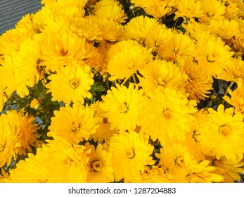 Florist's daisy (Chrysanthemum morifolium) is a species of perennial plant from Asteraceae family.