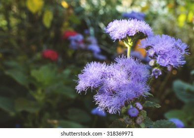 Floss flower Awesome leilani blue or ageratum blue bouque in green background