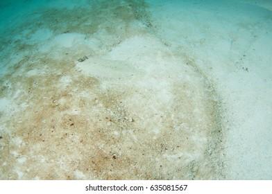Flounder (Bothus podas)