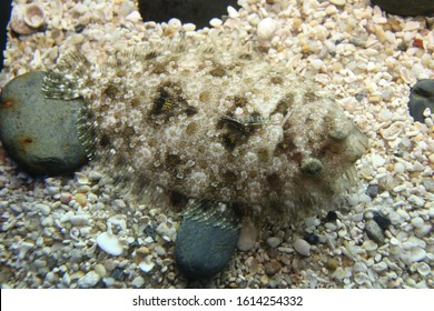 a flounder in the ocean camoflauged