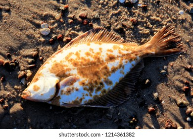 Flounder on the sand at the seafront .Flounder fishing in the baltic sea in  Latvia