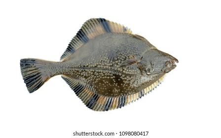 flounder on white background