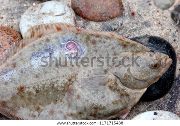 Fish Parasites >> Flounder Sick Wound Fish Parasites Infectionflounder Stock