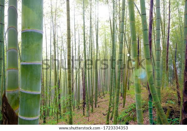Flourish Bamboo Trees Wall Mural