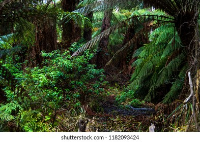 Flourishing ferns and towering trees crowd a beaten path through temperate woodland