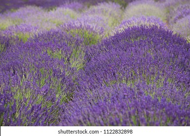 flourishing fields of lavender