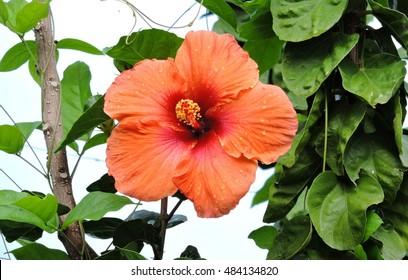 Flourishing Orange Hibiscus against blue sky in the Dominica island, Caribbean