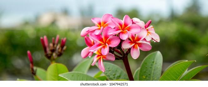 Flover of Mauritius - pink frangipane