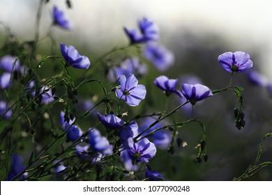 Flovers in spring, Blue Flax (Linum usitatissimum)