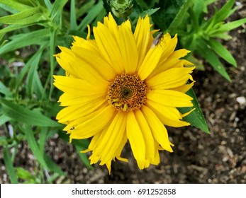 Yellow flower with brown center images stock photos vectors flower mightylinksfo