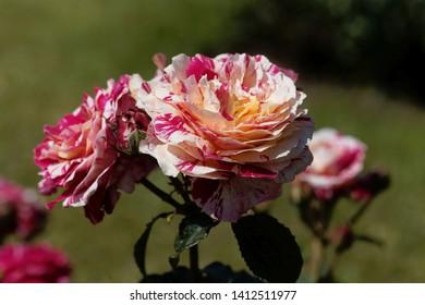 Flower of an Abracadabra rose in a garden.
