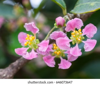 flower of acerola cherry , closed up shot