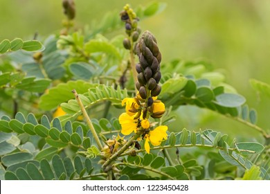 Flower of African senna, also called popcorn senna, candelabra tree, peanut butter cassia growing in Africa (Senna didymobotrya)