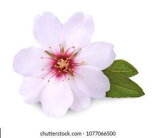 flower of almond isolated on white background
