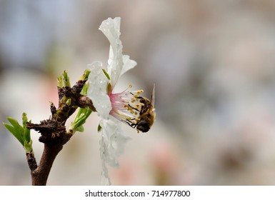 Flower of almond tree and bee among the stamens