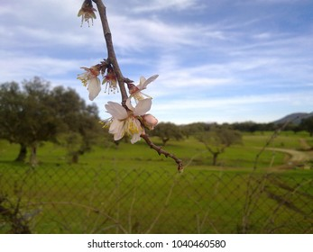 Flower of an almond tree in Extremadura (Spain).