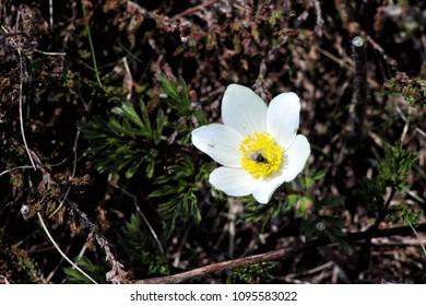 Flower alpine conch white