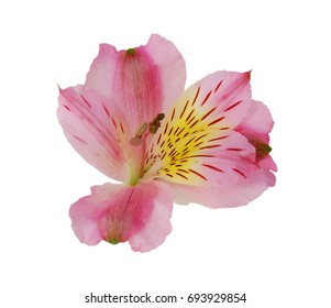 A flower of alstroemeria lily