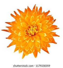 flower amber orange dahlia isolated on white background. Close-up. Nature.