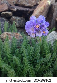 Flower among the rocks on a Colorado mountain.