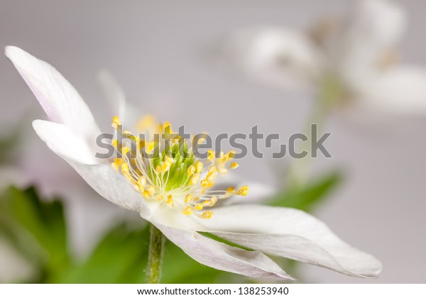 Flower anemone.  natural background