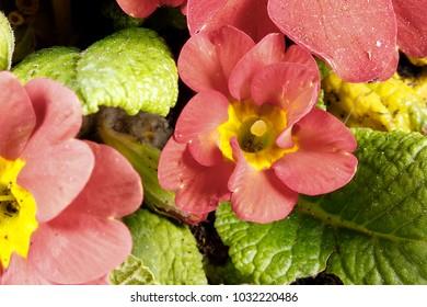 a flower announces spring
