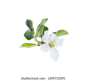 flower and Apple leaves isolated on white background