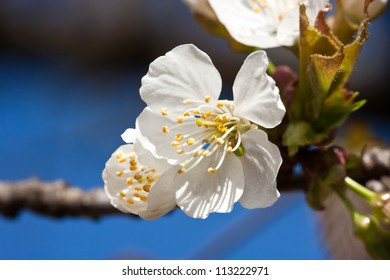 A flower of apple tree - Malus domestica