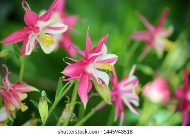 Flower Aquilegia vulgaris. Macro closeup pink flowers aquilegia blooming on the background of a green garden. Vibrant pink and white columbine flowers.