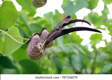 the flower (Aristolochia ringens) look like a bird or chicken in Thailand