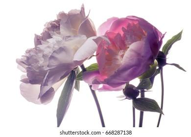 Flower arrangement peonies and irises. blue background.