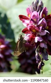 flower of Arrowroot