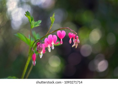 Flower of asian bleeding heart (Lamprocapnos) in bloom