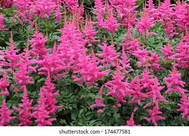 flower astilbe