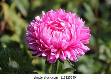 FLOWER OF ASTRA