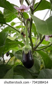 The flower of an Aubergine or Eggplant - Solanum melongena - hanging above a ripe fruit.