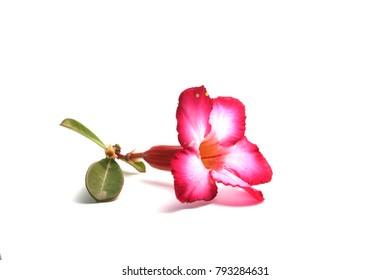 flower Azalea nature