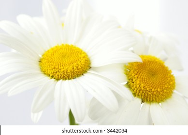 Flower background - detail of daisy, shallow DOF